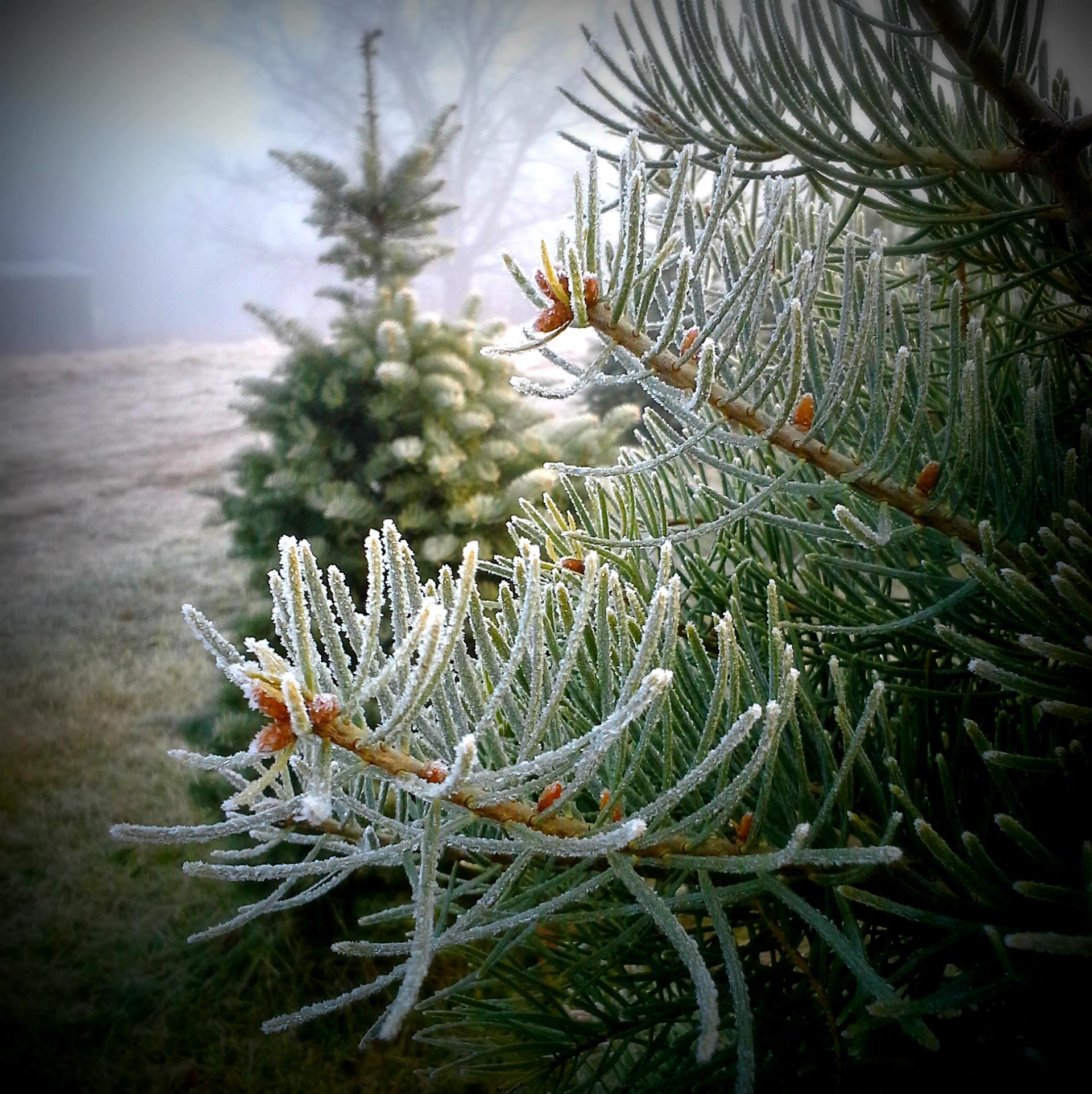 Christmas Tree Needles: Bugs On My Christmas Tree – What?!?