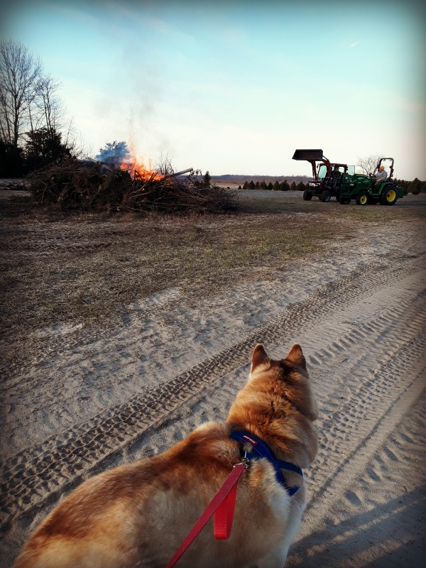 NanNuk is supervising the burn pile. Soon there will be only a pile of ash where all the stumps were.