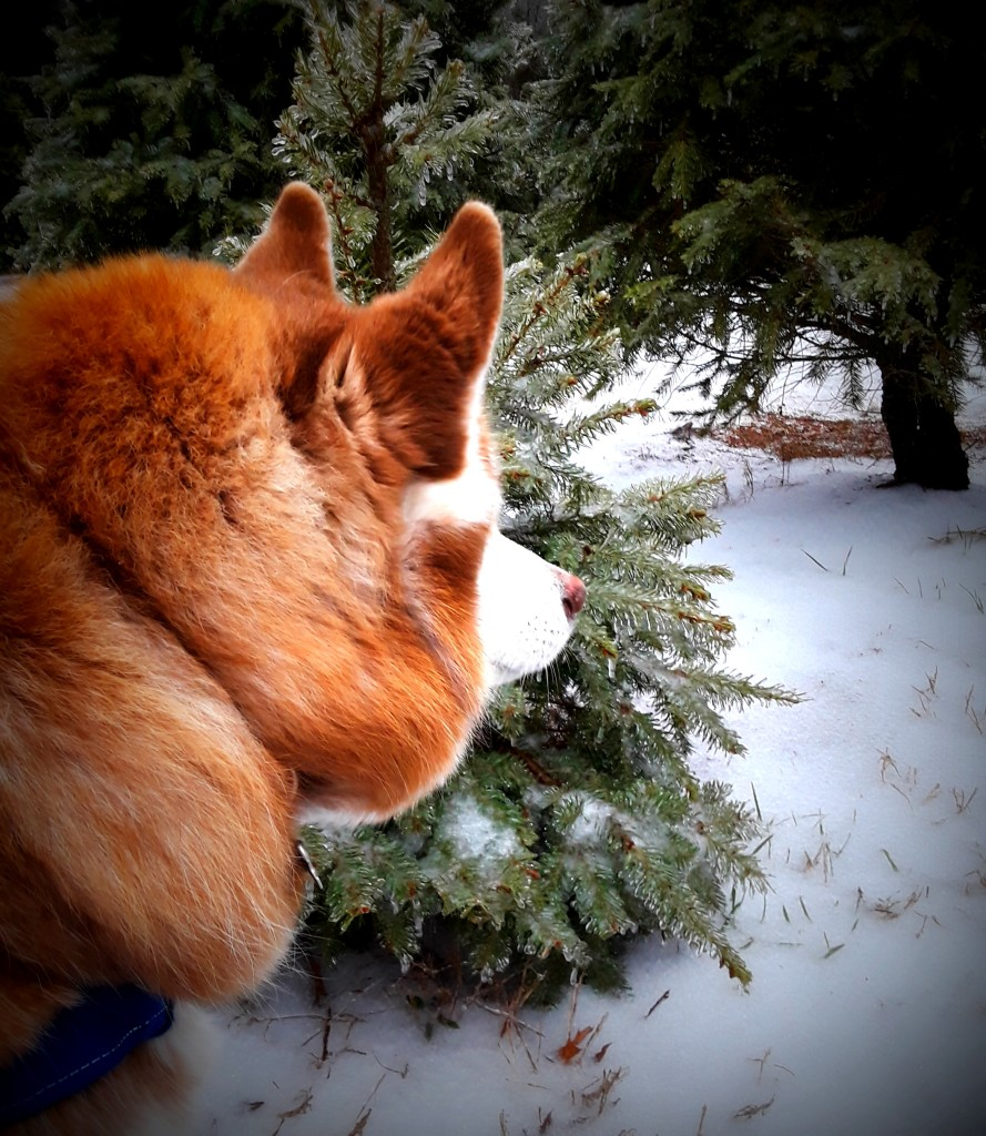 NanNuk is checking out the ice on the trees.